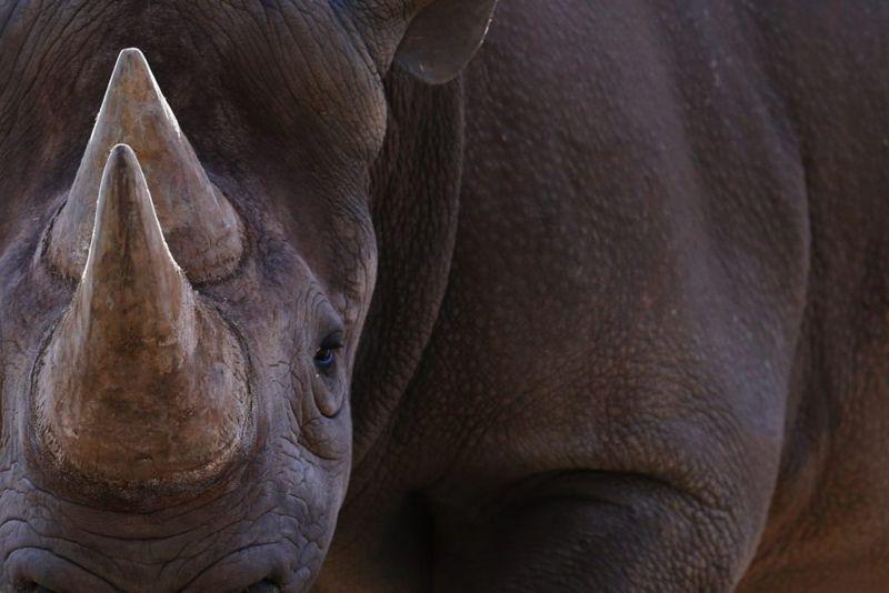 extinct rhino
