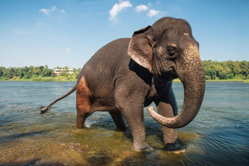 asian elephant famous endangered species