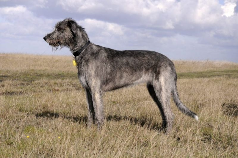 average irish wolfhound