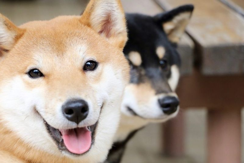 Shibas come in various colors