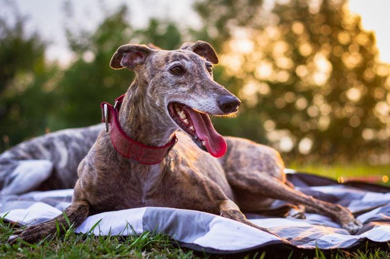 Spanish Galgo. Purebred dog at sunset