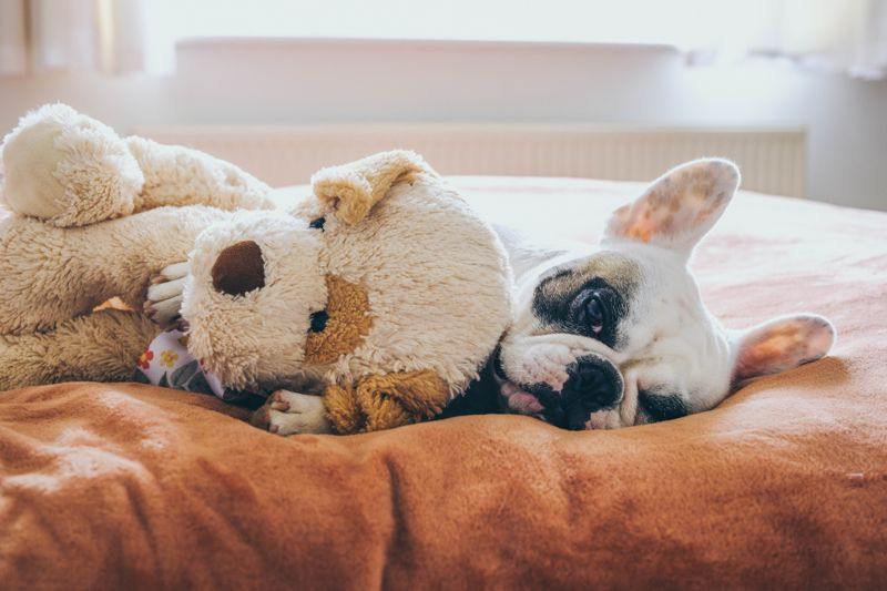 Frenchie sleeping with stuffed toy