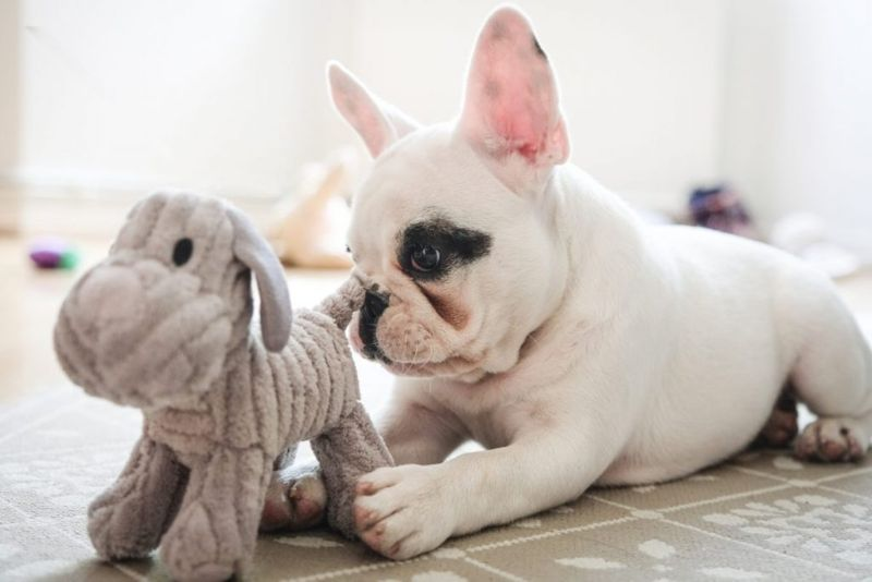 Small French bulldog puppy