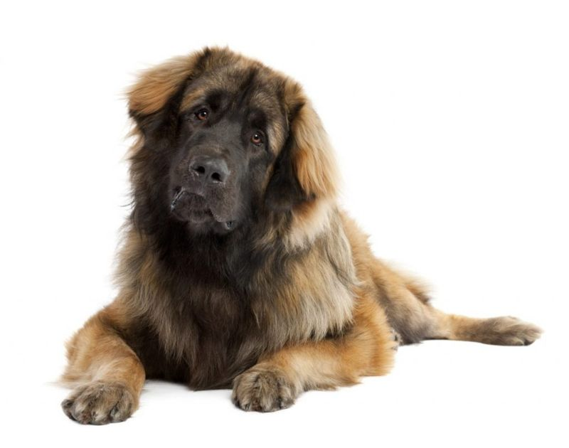 leonberger eyes height big
