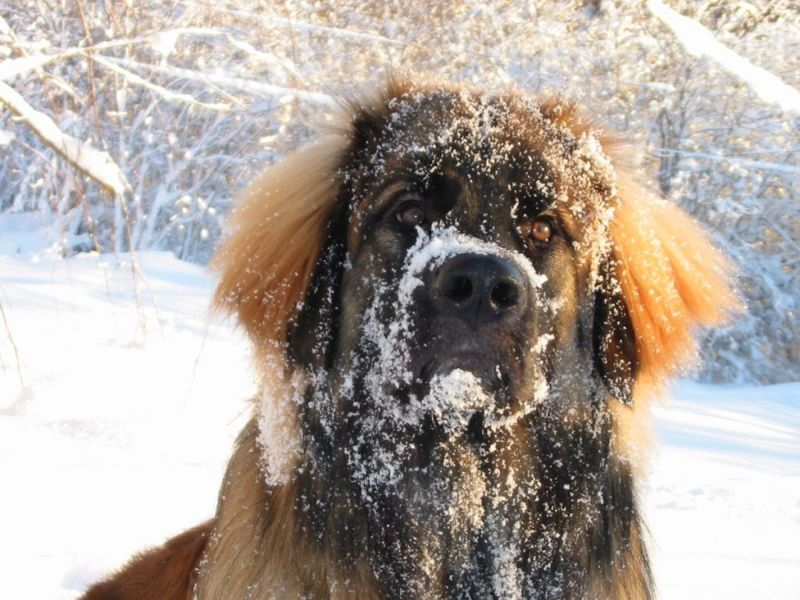 leonberger double coat shedding