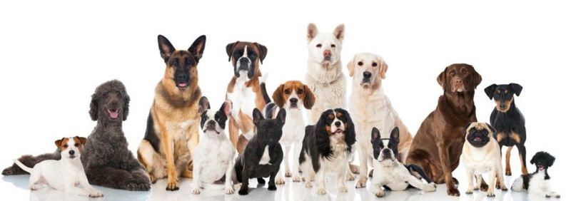 Rat Terrier and many breeds