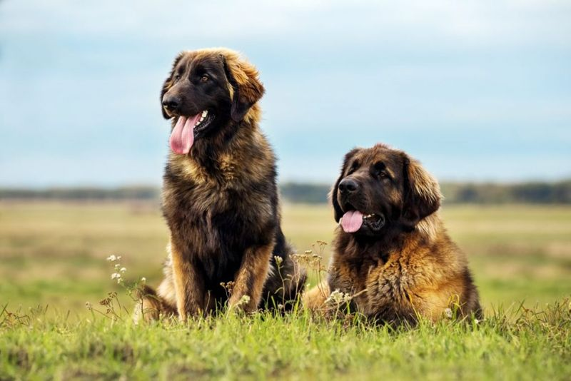 healthy leonberger bloat