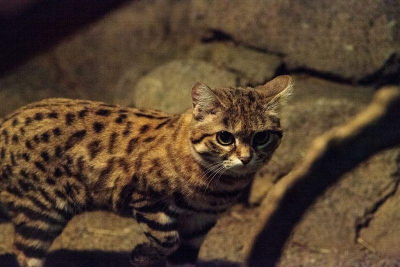 deadliest cat in the world