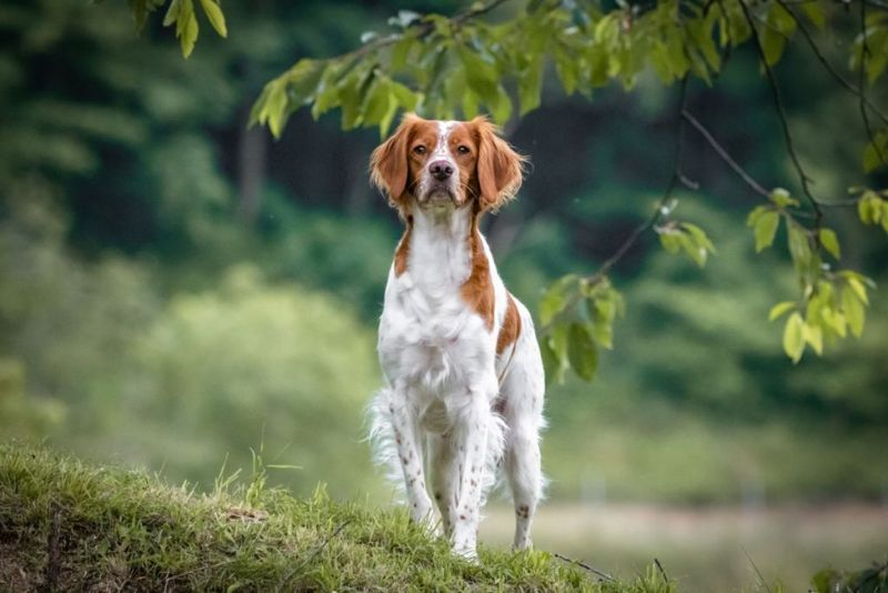 close up portrait of brittany spaniel female dog portrait