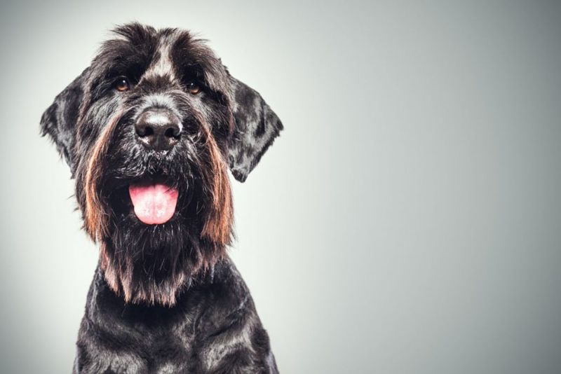 A profile portrait of a large purebred giant Schnauzer