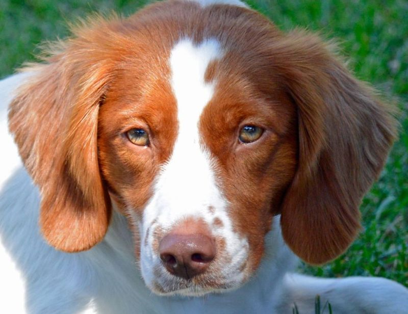 Young Brittany Spaniel up close