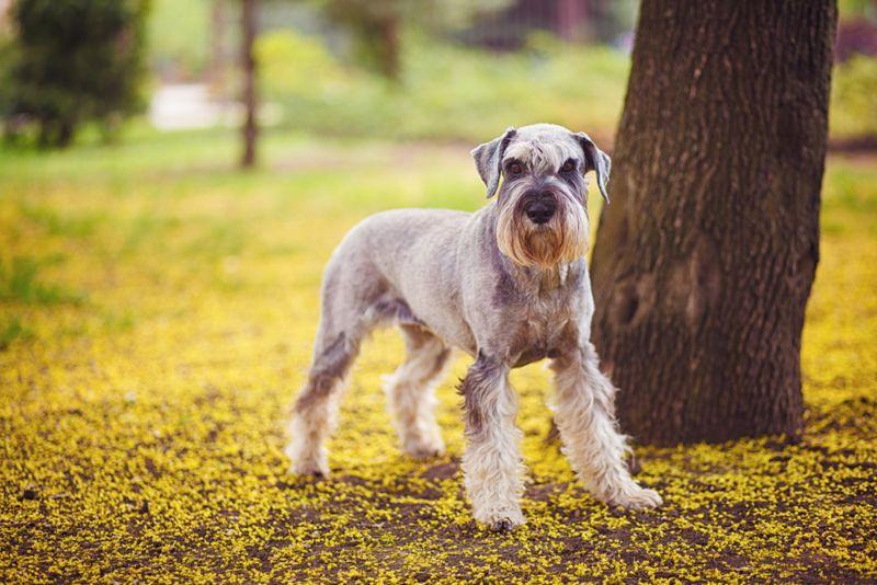 Happy, cute, funny dog Giant Schnauzer, pet walking in a summer park