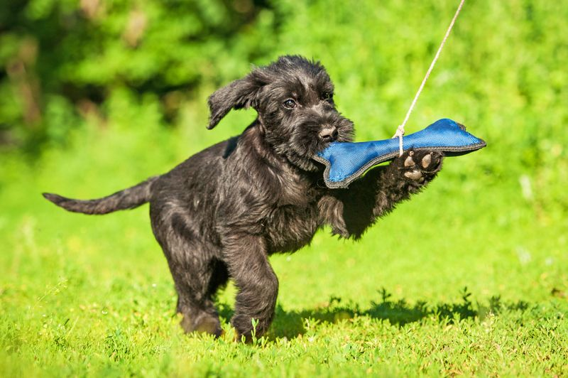 Giant schnauzer puppy playing with a toy bone outdoors
