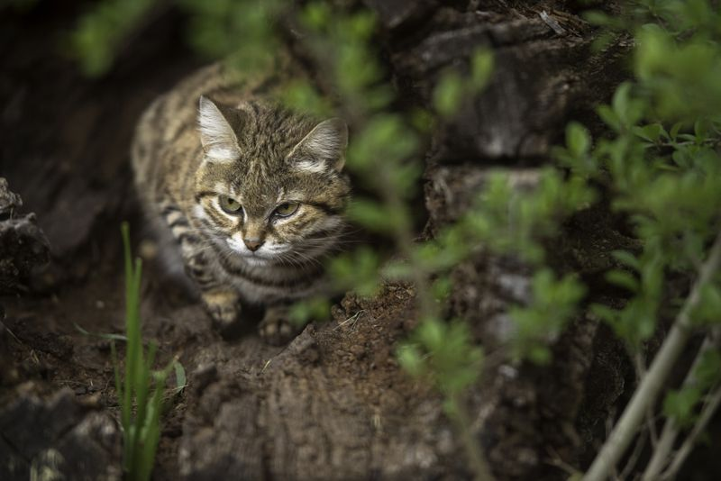 A black footed cat hunting