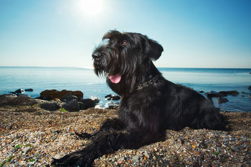 Giant schnauzer laying on a beach with the sun behind