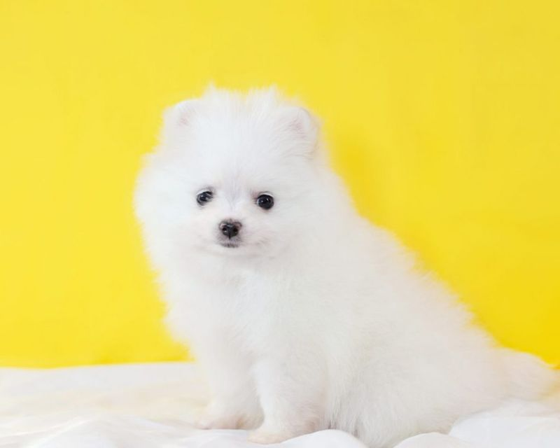 life expectancy of teacup pomeranian