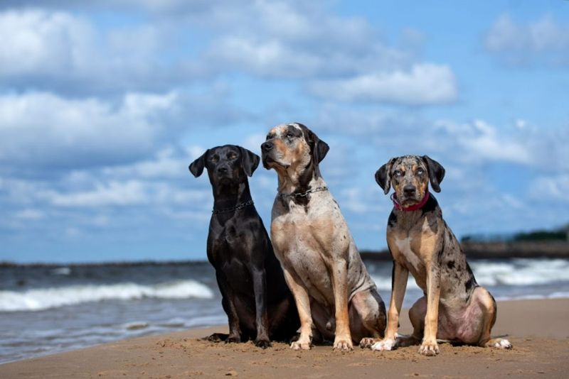 appearance of catahoulas