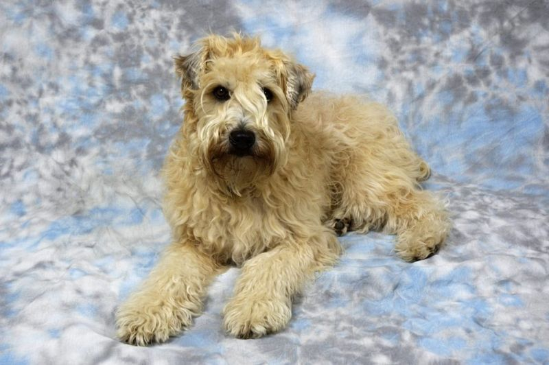 appearance of the wheaten terrier