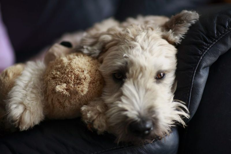 wheaten terriers and separation anxiety
