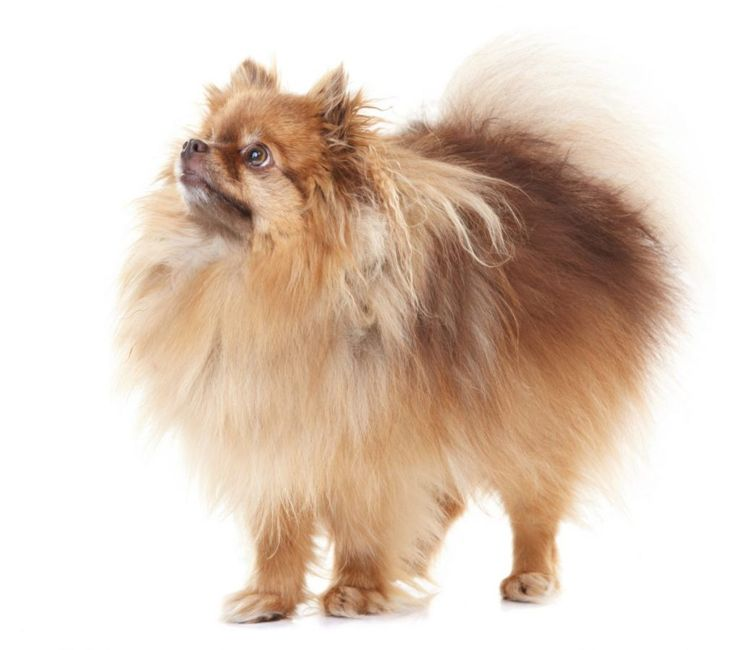 appearance of teacup pomeranians