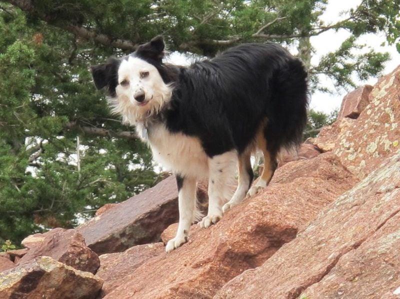 breeders american shepherd