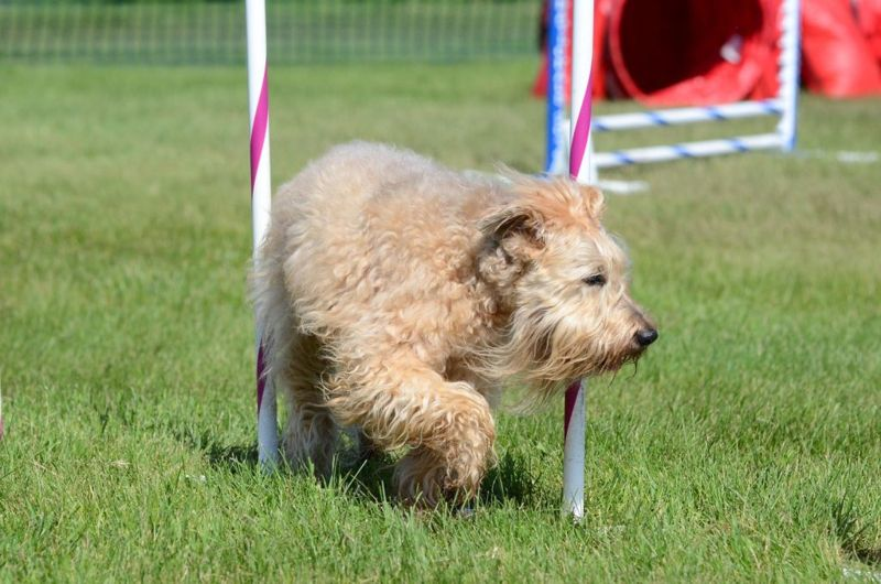 Irish Soft-Coated Wheaten Terrier Weaving Through Poles at a Dog Agility Trial