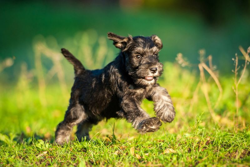 Miniature schnauzer puppy running