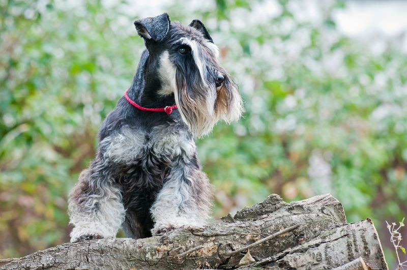 Miniature schnauzer sitting on stump