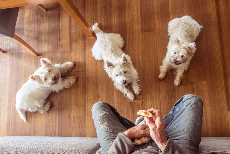 Dogs begging for food: pack of three hungry west highland white westie terriers watching man eat panini sandwich for lunch at home on couch
