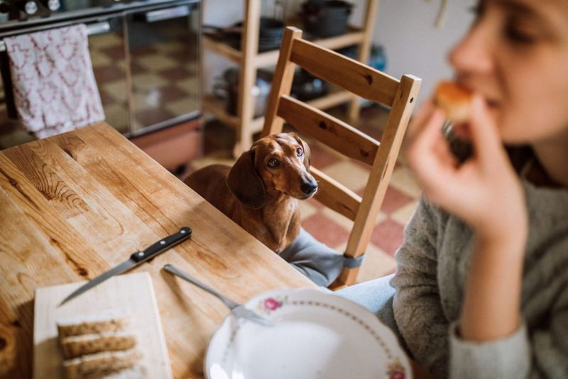 Charming Brunette Woman Enjoying Her Breakfast In Company Of Dachshund Dog