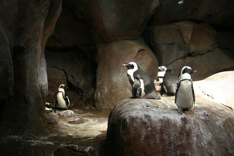 Penguins on display at the Georgia Aquarium in Atlanta.