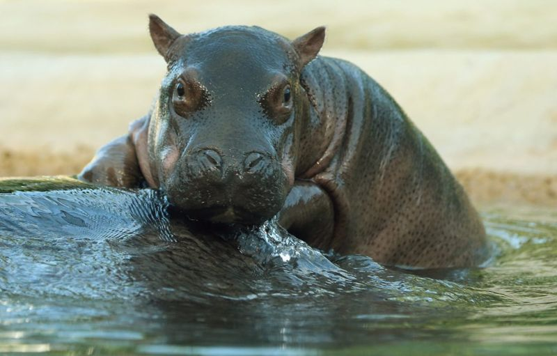 Up close and personal with a hippo.