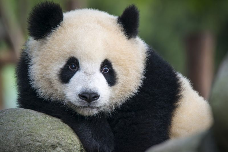 Animal lovers can watch pandas like this one over a webcam.