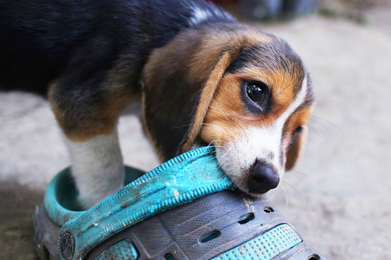 Puppies chew when teething
