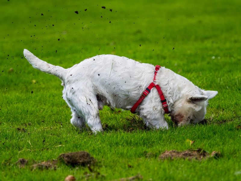 Terriers are bred to dig