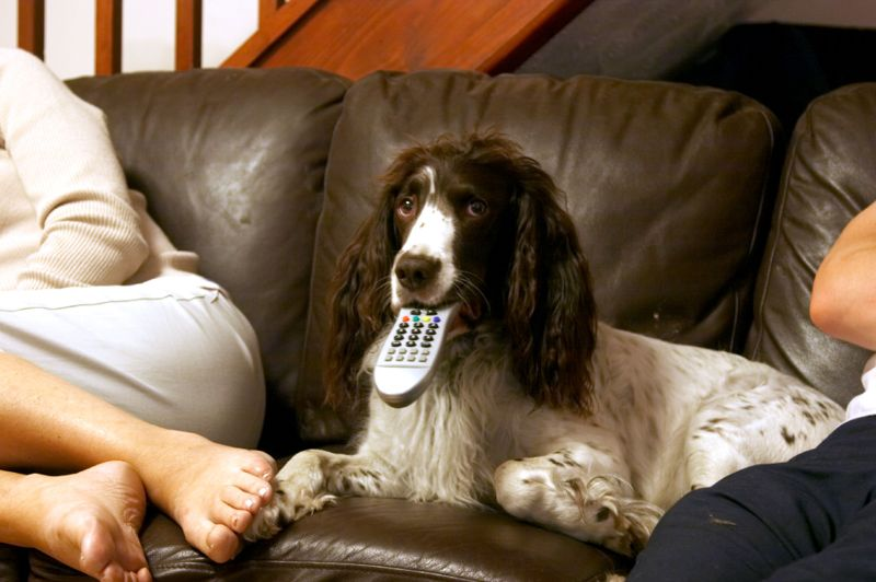 English springer spaniel with TV remote