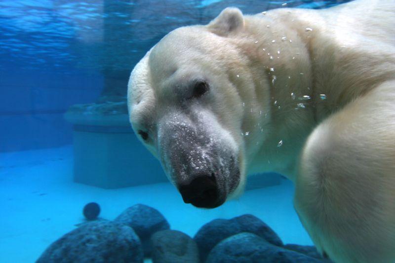 polar bear at Lincoln Park Zoo, Chicago