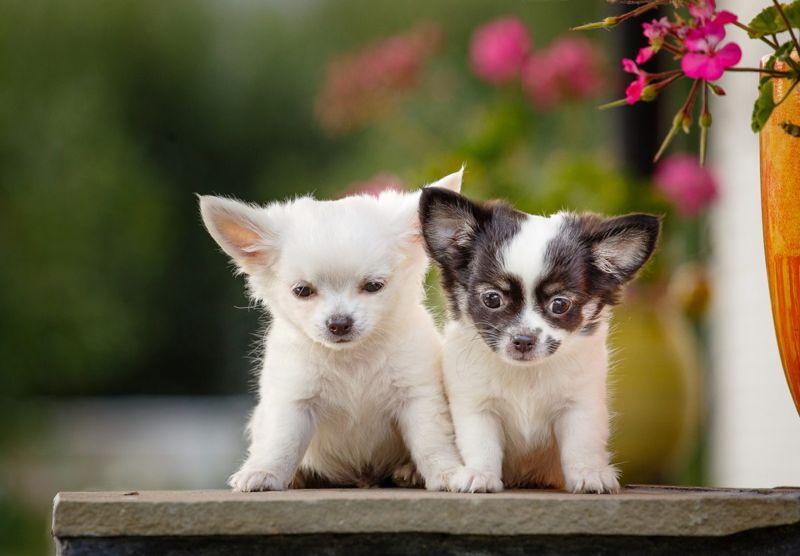 black white mask markings puppies