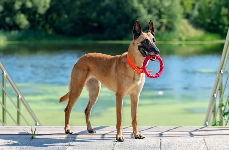 diet exercise long life malinois