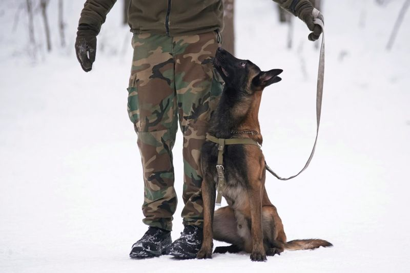 military dog protective athletic malinois
