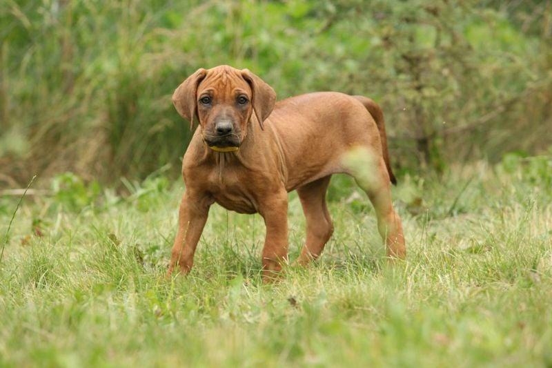 ridgeless puppies akc puppy