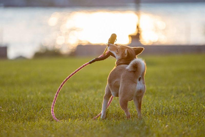 Playful shiba inu puppy