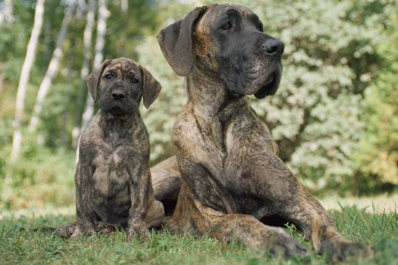 grow fast gentle canine danes