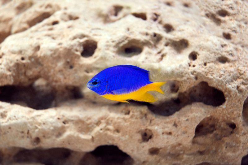 Yellowtail damselfish
