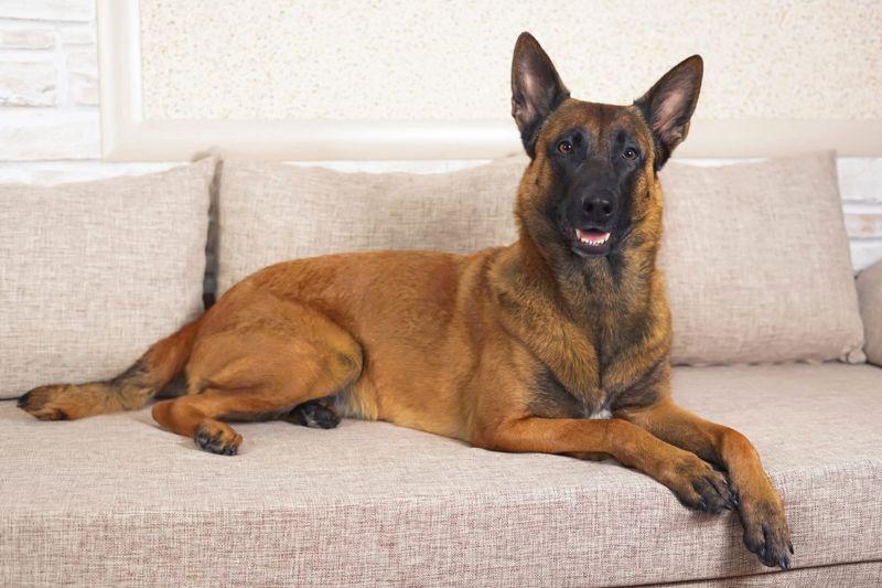 shepherds tervuren sheepdog malinois