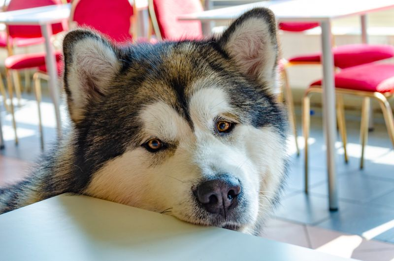 Beautiful big Alaskan Malamute dog in expectation of meal - in the cafeteria