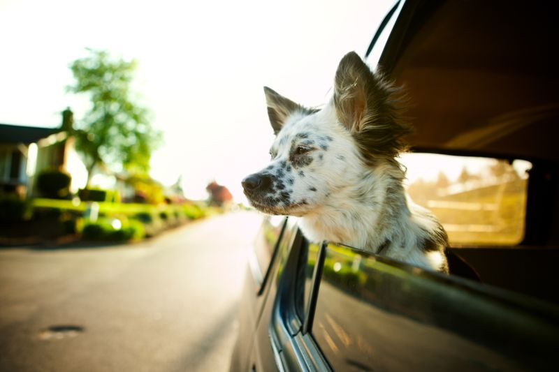 A cute young puppy dog hangs her head out of the car window on a sunny summer evening, bright sun light shining from behind.  Horizontal with copy space.