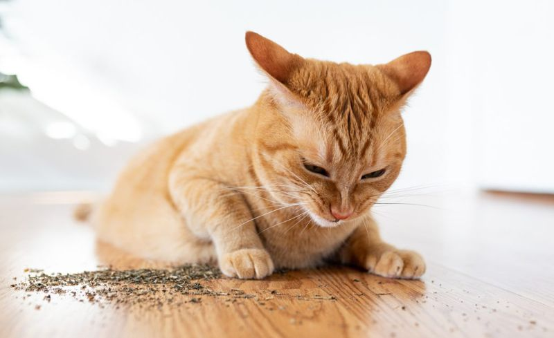 orange cat with dried catnip