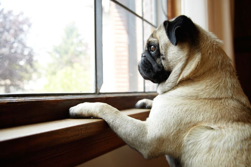 Cute Pug dog looks expectantly out of sunny window with paws on windowsill. Horizontal format.