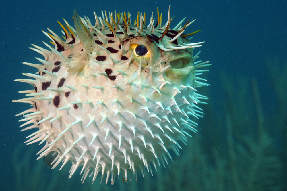 Blowfish or diodon holocanthus underwater in ocean in tropical destination